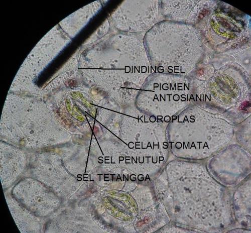 Plasmolisis pada epidermis daun Rhoeo discolor setelah perlakuan