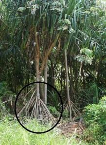prop root